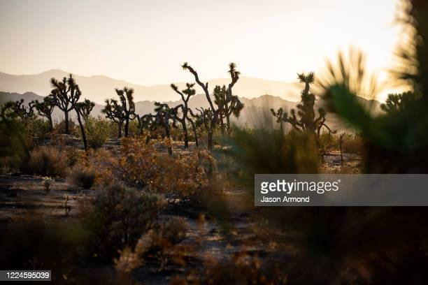 An area where Joshua trees are facing extinction due to climate change and wildfires on Monday, June 29, 2020 in Joshua Tree, CA.