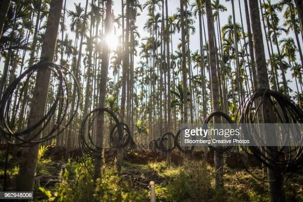 An areca nut farm