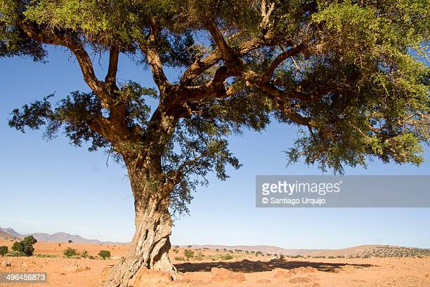 An argan (Argania spinosa) tree on rocky desert