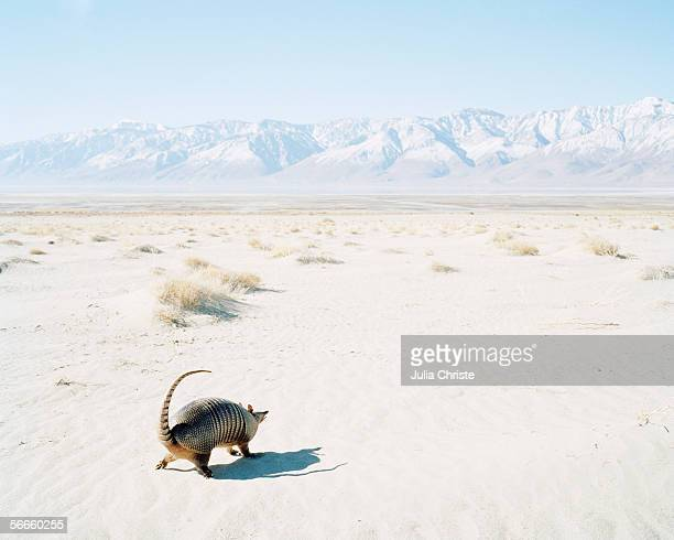 an armadillo in a desert - armadillo stock pictures, royalty-free photos & images