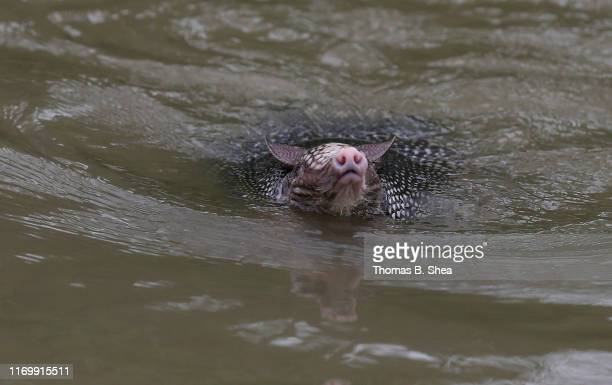 An armadillo swims toward a boat as it struggles in the flooded waters on highway 124 on September 20 2019 in Beaumont Texas Gov Greg Abbott has...