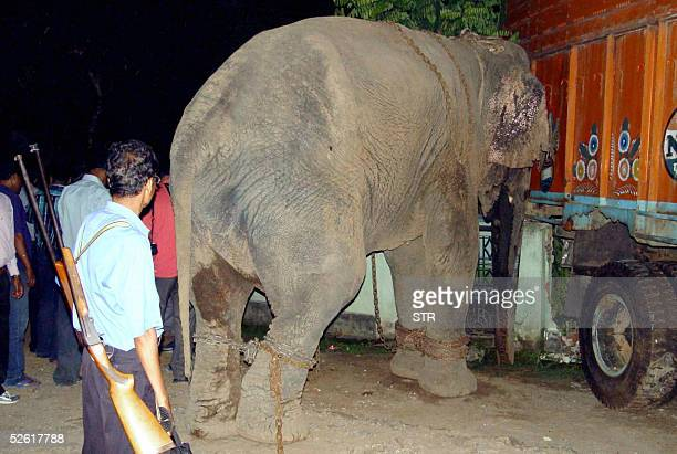 An armed Indian official looks at a chained elephant banging his head against a truck after the animal went on a rampage and captured in the...