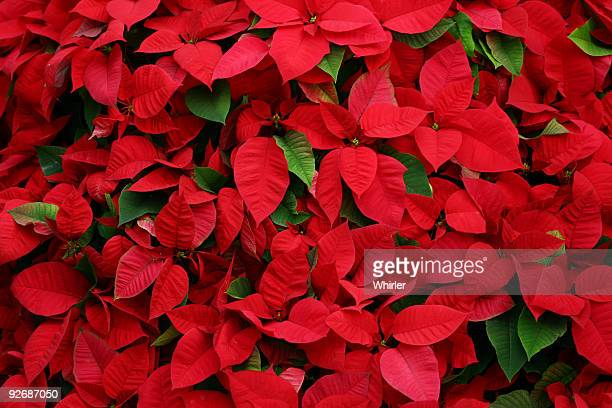 an arrangement of beautiful poinsettias - christmas star stock photos and pictures