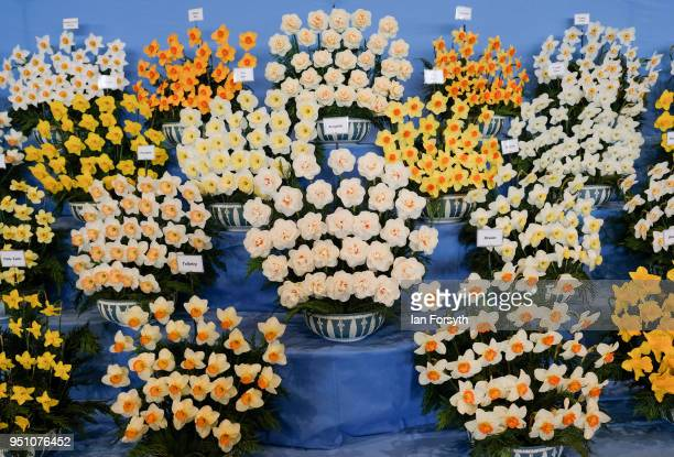 An arrangement of daffodils on show during staging day for the Harrogate Spring Flower Show on April 25 2018 in Harrogate England Organised by the...
