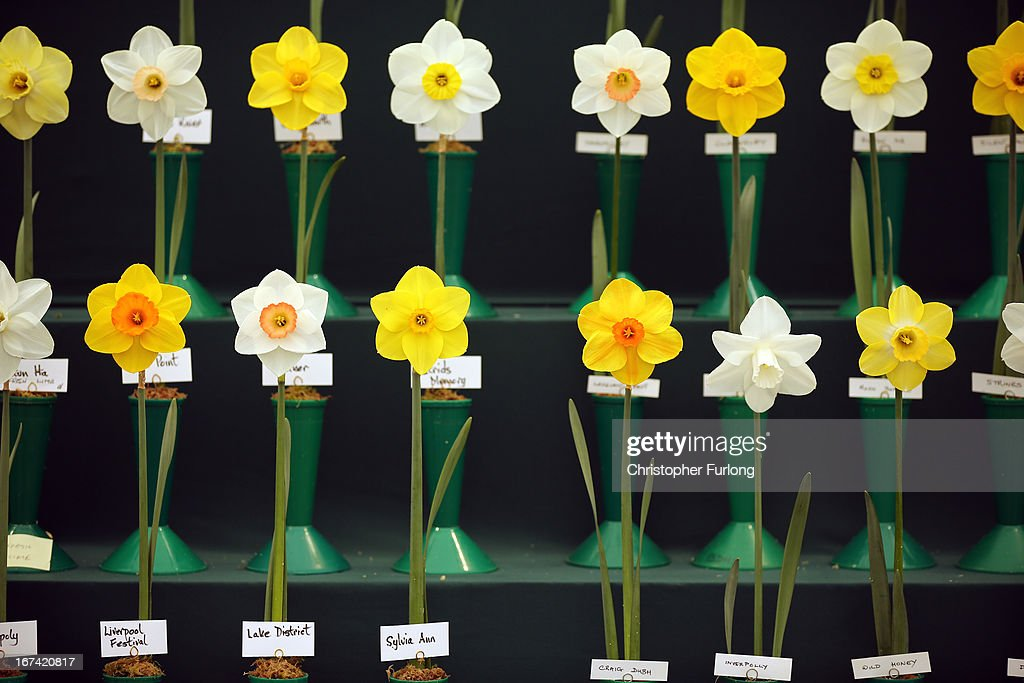 An array of daffodils stand proudly on show at the Harrogate Spring Flower Show on April 25, 2013 in Harrogate, England. Over 100 nurseries are staging displays of their flowers and plants at the Harrogate Spring Show organised by the north of England Horticultural Society. The premier gardening event of the north attracts thousands of horticulturalists to view it's show gardens and Spring floral displays.