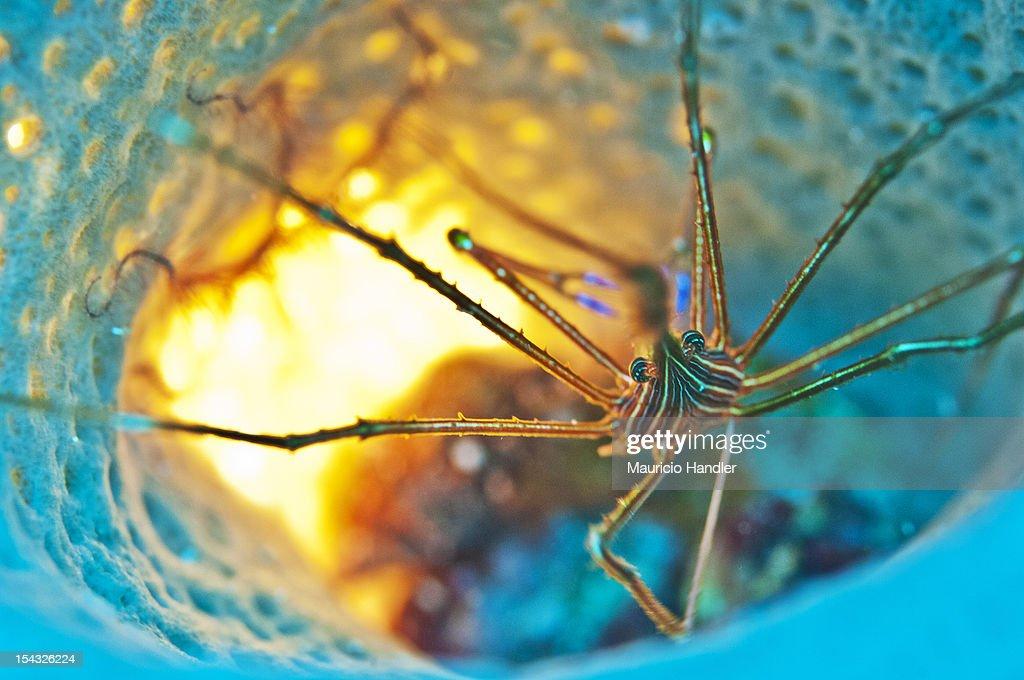 An arrow crab inside a blue vase sponge. : Bildbanksbilder