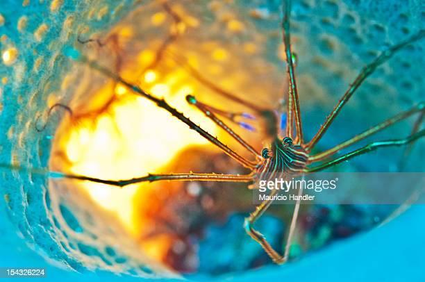 An arrow crab inside a blue vase sponge.