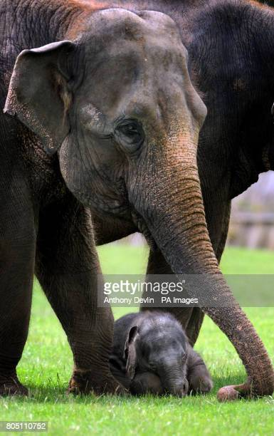 An as yet unnamed 6day old elephant calf amongst adult elephants at Whipsnade Zoo near Luton