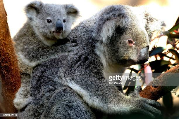 An as yet unnamed seven monthold Northern Koala joey clings to his mother Tara after emerging from her pouch at Sydney Wildlife World July 31 2007 in...