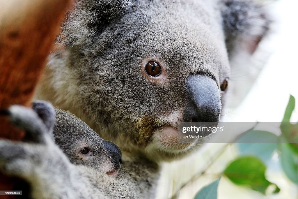 Joey Koalas Emerge From Their Mothers Pouches : News Photo