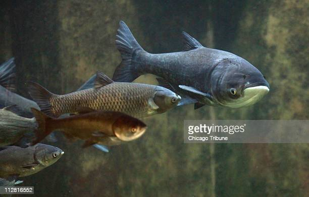 An Asian Bighead Carp swims in the Great Lakes Invasive Species tank at Chicago's Shedd Aquarium on Tuesday Jan 12 2010