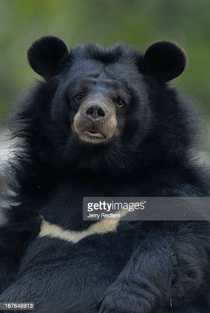 An Asian Black Bear resting at the Darjeeling Zoo Formally known as the Padmaja Naidu Himalayan Zoological Park the Darjeeling Zoo was opened in 1958...