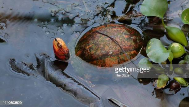 An Asian Box Turtle peers from its enclosure at the Turtle Survival Center on June 14, 2018. The South Carolina preserve protects some of the world's...