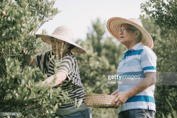 an asian chinese active senior couple plucking the lime calamondin from the lime tree during weekend sunny morning