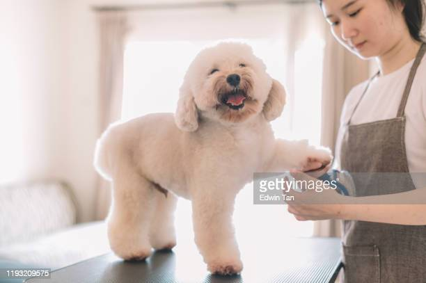 an asian chinese female pet groomer using animal brush to clean up and grooming a toy poodle - groom stock pictures, royalty-free photos & images
