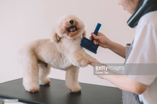 an asian chinese female pet groomer using animal brush to clean up and grooming a toy poodle - blow drying hair stock pictures, royalty-free photos & images