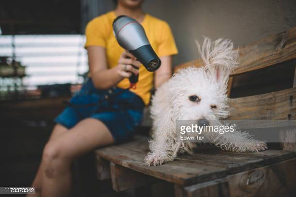an asian chinese female teenager blowing dry on her pet toy poodle dog after taking a bath for him with hair dryer on a wooden couch