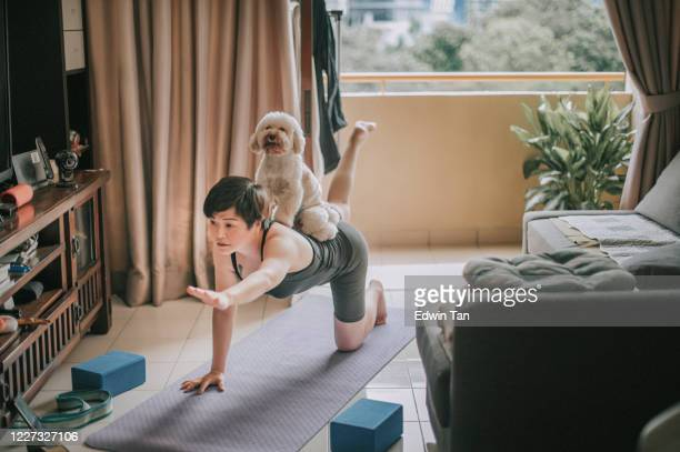 an asian chinese mid adult practicing yoga  exercising at home putting her toy poodle at her back e learning using phone online class - relaxation exercise stock pictures, royalty-free photos & images
