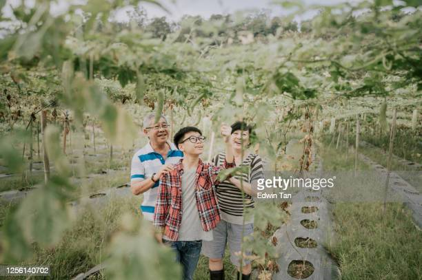 an asian chinese senior active couple and their grandson looking and plucking their bitter gourd hanging at the tree harvest and ripe ready to eat