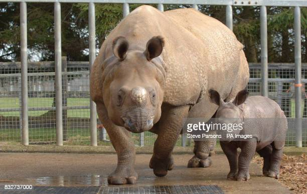 An Asian onehorned Rhino calf makes its public debut alongside mum Behan at Whipsnade Wild Animal Park in Dunstable Beds