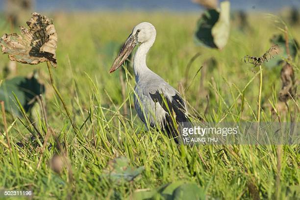 An Asian openbill looks on at the Moe Yun Gyi wetlands in Bago Division around 70 miles north of Yangon on December 23 2015 Myanmar has one of the...
