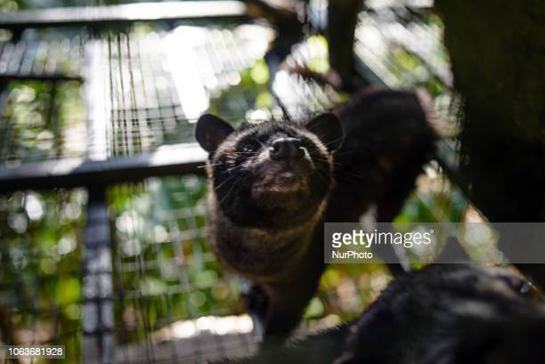 An Asian palm civet in a cage at Kopi luwak farm and plantation in Ubud District Bali Indonesia on November 20 2018 Kopi luwak is coffee that...