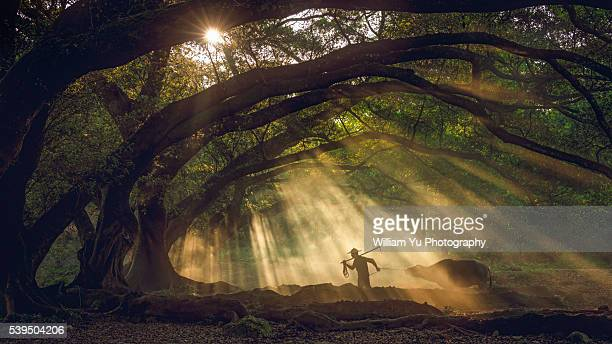 an asian peasant going to the field with a water buffalo - banyan tree stock photos and pictures