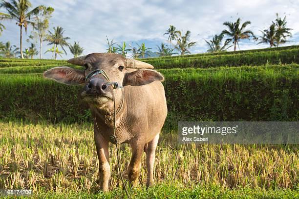 an asian water buffalo, bubalus bubalis, looking at the camera. - alex saberi - fotografias e filmes do acervo