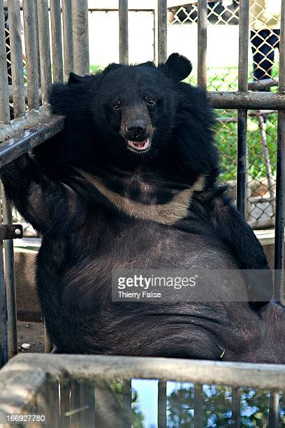 An Asiatic Black Bear looks sad behind the bars of a cage in a private Thai school Ten years ago the school agreed to take care of a few bears bred...