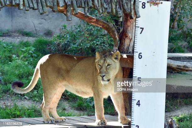An Asiatic lion seen during the Annual weighin at ZSL London Zoo in London