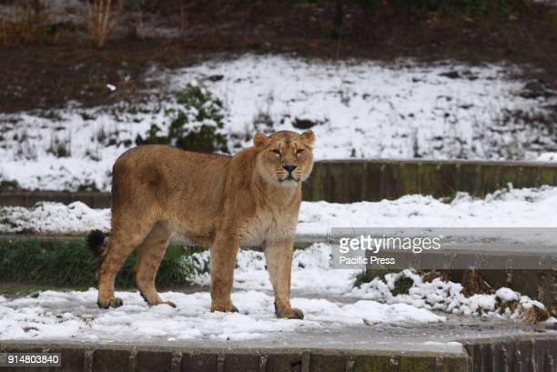 An Asiatic lion stands in the snow at Madrid zoo