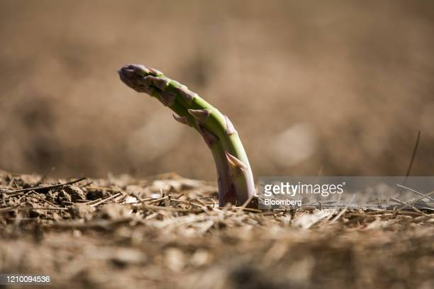 An asparagus spear grows in a field at a farm in Minster near Ramsgate UK on Wednesday April 15 2020 Almost all of Britain's seasonal agriculture...