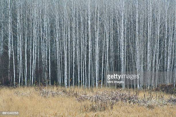 an aspen forest in autumn. thin white tree trunks of the quaking aspen in low light with autumnal understory. - grove stock photos and pictures