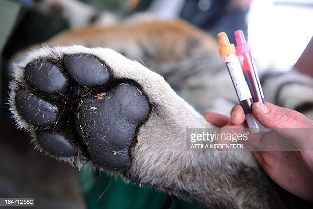 An assistant of the Budapest zoo holds blood samples from Siberian tiger 'Thrax' next to its paw on March 27 2013 at the Budapest Zoo and Botanic...
