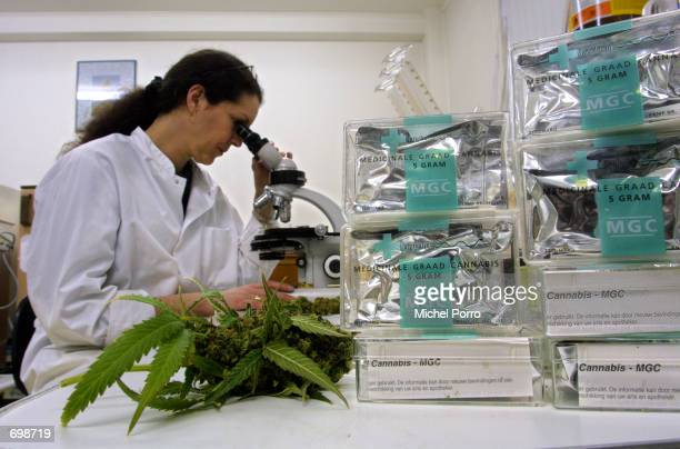 An assistant studies marijuana/cannabis leaves in the Maripharma Laboratory February 15 2002 in Rotterdam Netherlands The Dutch government is the...