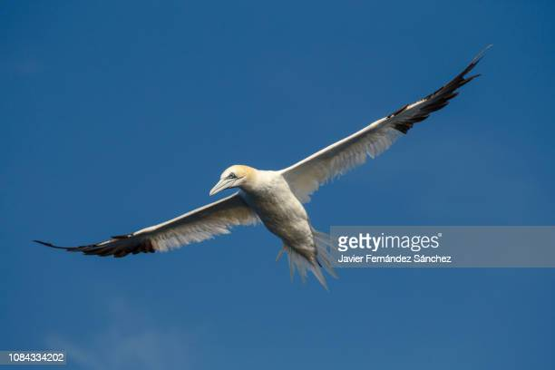 an atlantic gannet flying above the blue sky ready to dive over the waters of the atlantic ocean to fish. morus bassanus. - northern gannet stockfoto's en -beelden