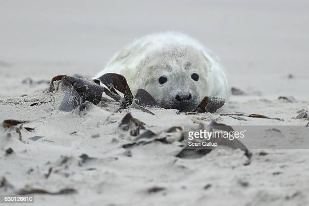 An Atlantic grey seal pup lies on the beach on December 16 2016 on the Duene portion of Heligoland archipelago Germany A local environmental...