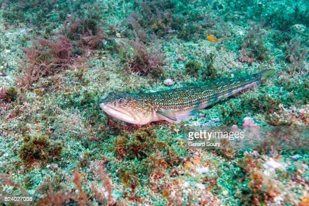 An Atlantic Lizardfish sitting on the seafloor