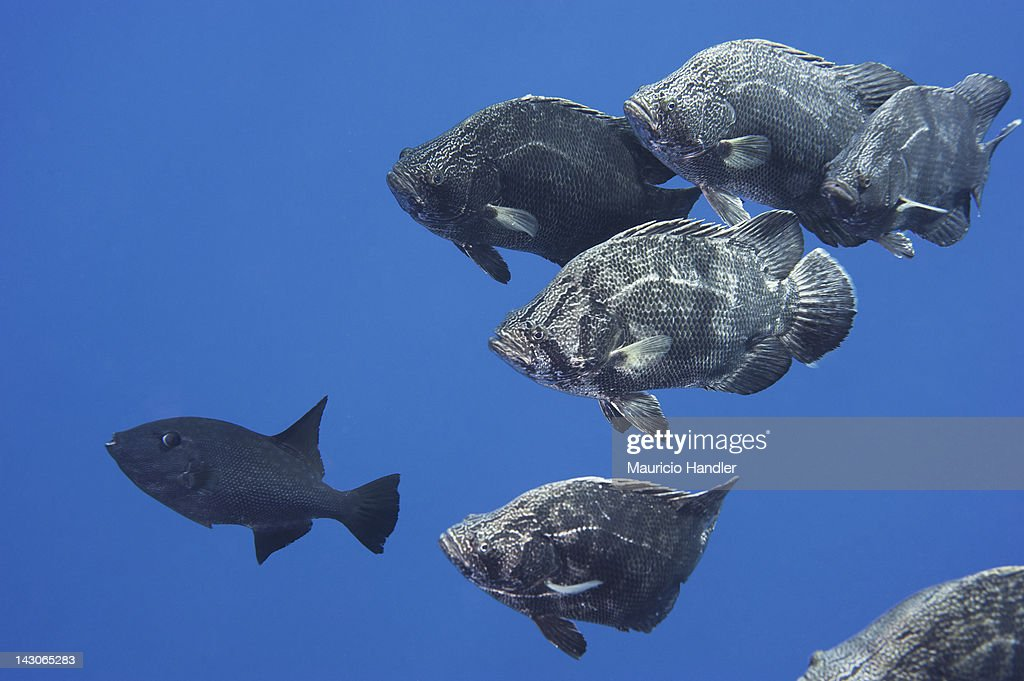 An Atlantic triplefin and ocean triggerfish, Canthidermis sufflamen. : Stock Photo