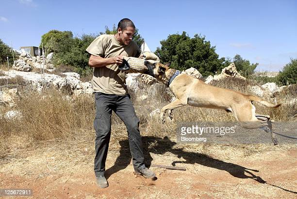 An attack dog is trained by its trainer on an exercise in the Kiryat Arba settlement West Bank on Tuesday Sept 20 2011 The army does a wonderful job...