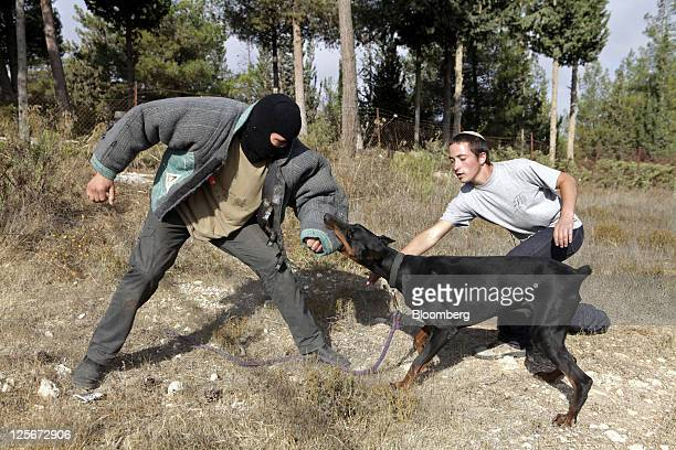 An attack dog is trained by its trainers on an exercise in Guzh Etzion West Bank on Tuesday Sept 20 2011 The army does a wonderful job but we're not...