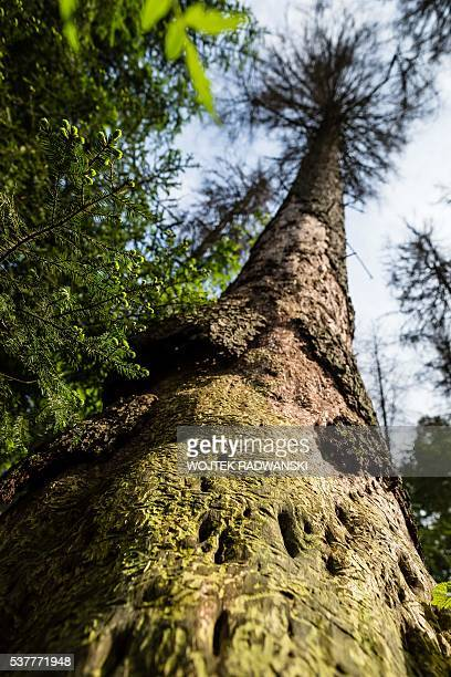 An attacked by woodwarms spruce tree is pictured in primaval parts of Bialowieza Forest on May 31 2016 near Bialowieza Today this peaceful haven is...
