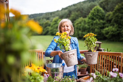 An attractive senior woman planting flowers outdoors in summer. - gettyimageskorea