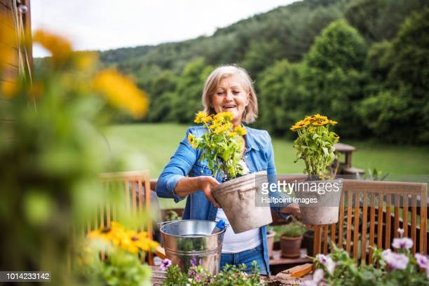 an attractive senior woman planting flowers outdoors in summer. - horticulture stock pictures, royalty-free photos & images