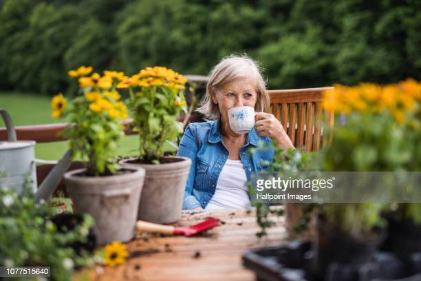 an attractive senior woman planting flowers outdoors in summer. - 中庭 ストックフォトと画像