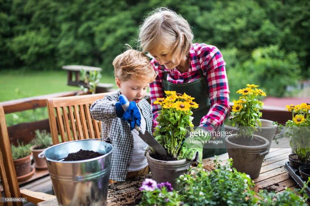 An attractive senior woman with a toddler boy planting flowers outdoors in summer. : Stock Photo