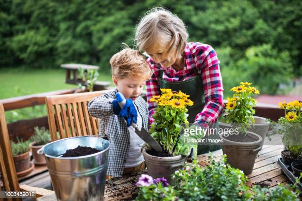 an attractive senior woman with a toddler boy planting flowers outdoors in summer. - tuinieren stockfoto's en -beelden