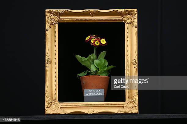 An auricula is positioned in a picture frame on the press preview day of the Chelsea Flower Show on May 18 2015 in London England The show which has...