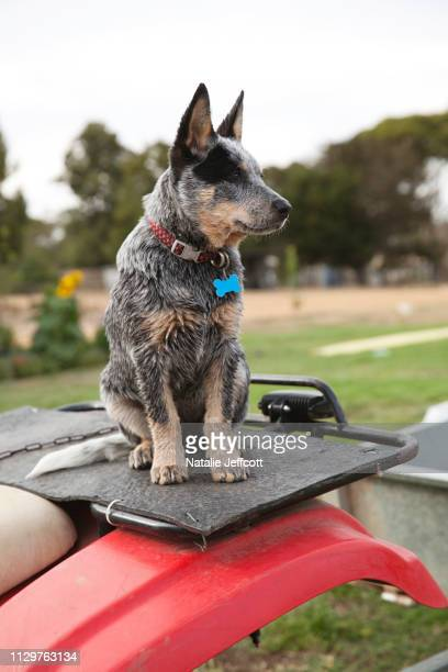 an australian blue heeler working cattle dog on a quad bike at a farm - australian cattle dog stock pictures, royalty-free photos & images