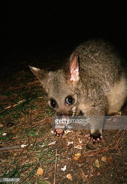 an australian brushtail possum on the ground at night, melbourne, victoria, australia - possum stock pictures, royalty-free photos & images